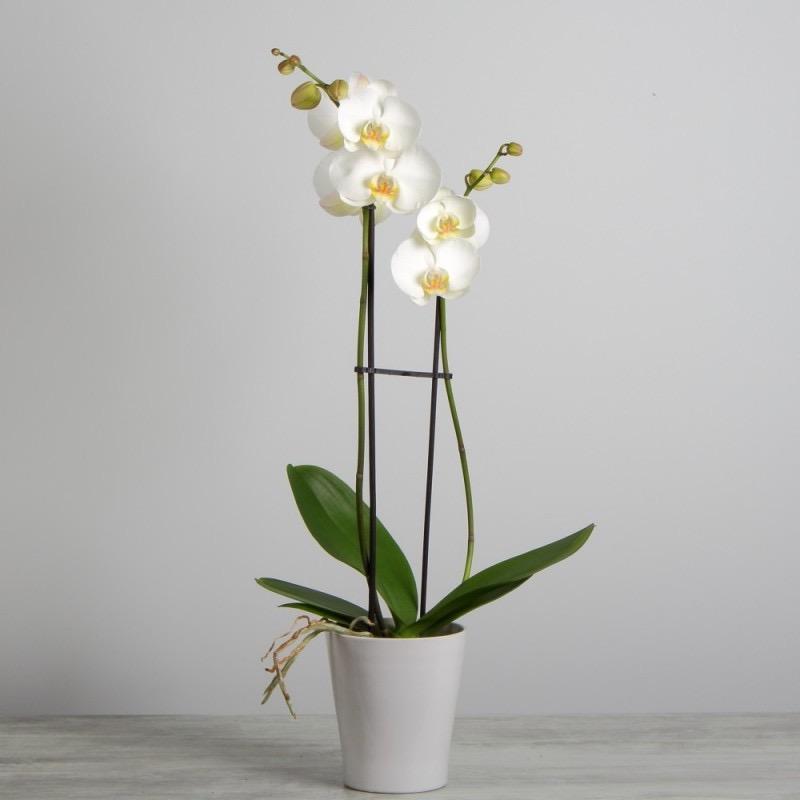 Phalaeno blanc