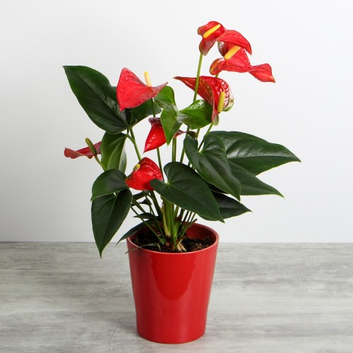 Anthurium small
